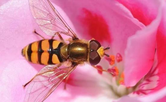 传粉蜜蜂遭遇危机苍蝇的亲戚被培训上岗